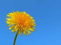 Yellow dandelion weed close up. Stock Photos