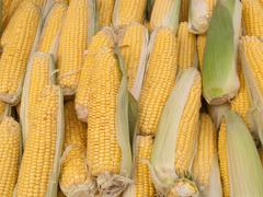Lost of sweetcorn corn cobs close up. Stock Photos