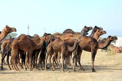 group of camels during festival in pushkar - stock photo