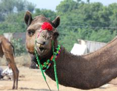 funny camel during festival in pushkar - stock photo