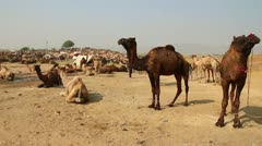 Pushkar Camel Fair - group of camels during festival Stock Footage
