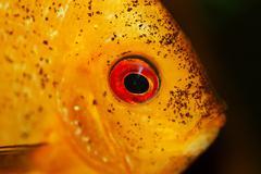 Yellow fish in aquarium Stock Photos