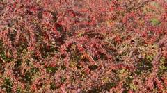 Common barberry (Berberis vulgaris) - stock footage