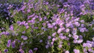Stock Video Footage of Bushy aster (Aster dumosus)
