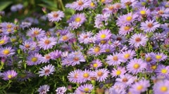 Bushy aster (Aster dumosus) and bee (Apis) - stock footage
