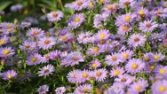 Stock Video Footage of Bushy aster (Aster dumosus) and bee (Apis)