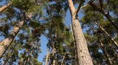Scots pine (Pinus sylvestris) Stock Footage