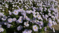 Stock Video Footage of Bushy aster (Aster dumosus 'Silberteppich')