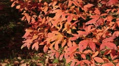 Three-flowered maple (Acer triflorum) Stock Footage