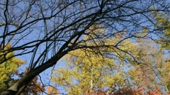 Service berry (Amelanchier) and birch (Betula) Stock Footage