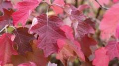 Oak-leaved hydrangea (Hydrangea quercifolia) Stock Footage