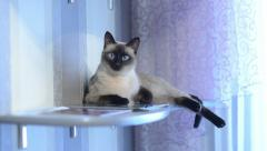 Siamese breed pet cat sitting at home on a bookshelf Stock Footage