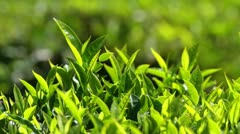 tea plants close-up in Munnar Kerala India - stock footage