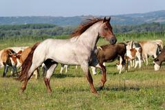 Horse running.JPG Stock Photos