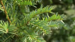 Pacific yew (Taxus brevifolia) - stock footage