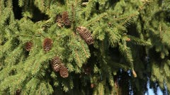 Norway spruce (Picea abies 'Acrocona') Stock Footage