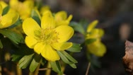Stock Video Footage of Winter aconite (Eranthis hyemalis)