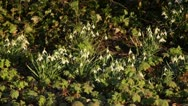 Common snowdrop (Galanthus nivalis) Stock Footage