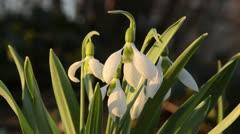 Giant snowdrop (Galanthus elwesii) - stock footage