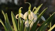 Stock Video Footage of Giant snowdrop (Galanthus elwesii)