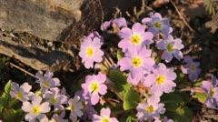 Stock Video Footage of Primrose (Primula vulgaris subsp. sibthorpii)