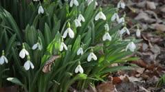 Snowdrop (Galanthus plicatus) Stock Footage