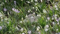 Spring snowflake (Leucojum vernum) Stock Footage