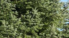 Trojan fir (Abies nordmanniana subsp. equi-trojani) Stock Footage