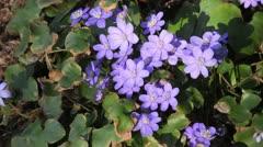 Liverwort (Hepatica nobilis) Stock Footage