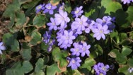 Stock Video Footage of Liverwort (Hepatica nobilis)