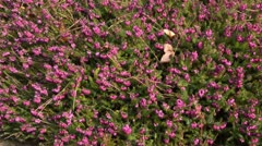 Winter heather (Erica carnea 'Winterfreude' syn. Erica herbacea 'Winterfreude') Stock Footage