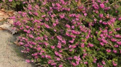 Winter heather (Erica carnea 'Winterfreude' syn. Erica herbacea 'Winterfreude') - stock footage