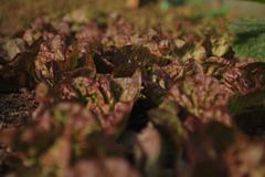 Rows of organic lettuce. - stock photo