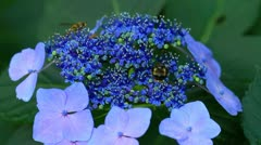 Insects gathering pollen from the hydrangea. - stock footage