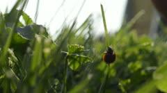 ladybug - stock footage