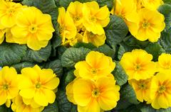 Group of yellow primrose in bloom Stock Photos