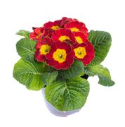 red and yellow flowering potted primrose - stock photo