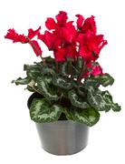 Red flowering potted cyclamen isolated on white Stock Photos