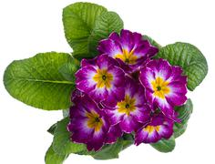 Purple and white primrose isolated on white Stock Photos