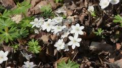 Liverwort (Hepatica nobilis 'Alba') Stock Footage