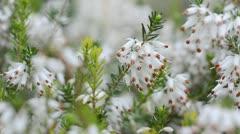 Winter heather (Erica carnea 'Springwood White' syn. Erica herbacea 'Springwood Stock Footage
