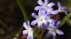 Glory of the snow (Chionodoxa forbesii syn. Scilla forbesii) - stock footage
