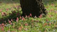 Fumewort (Corydalis solida) Stock Footage