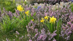 Stock Video Footage of Daffodils (Narcissus) and winter heather (Erica carnea syn. Erica herbacea)