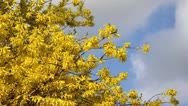Forsythia (Forsythia x intermedia) Stock Footage