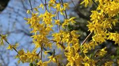 Stock Video Footage of Weeping forsythia (Forsythia suspensa var. fortunei)
