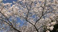 Tokyo cherry (Prunus x yedoensis) Stock Footage