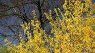 Forsythia (Forsythia x intermedia) Stock Footage