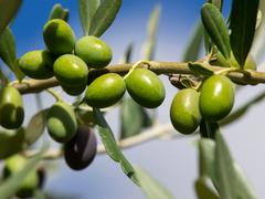 Olive Stock Photos
