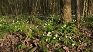 Wood anemone (Anemone nemorosa) Stock Footage